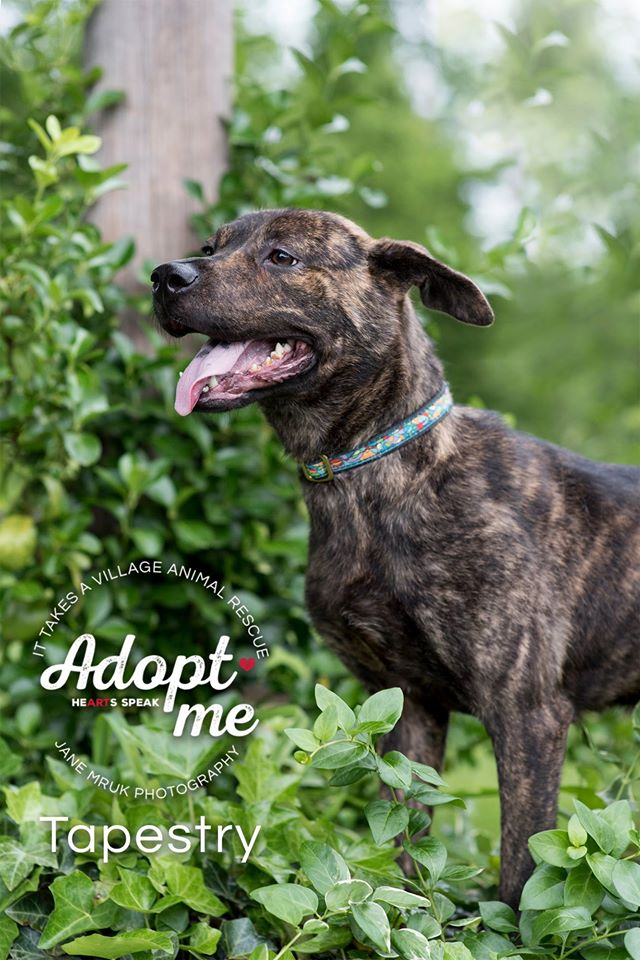 Tapestry – Plott Hound Mix